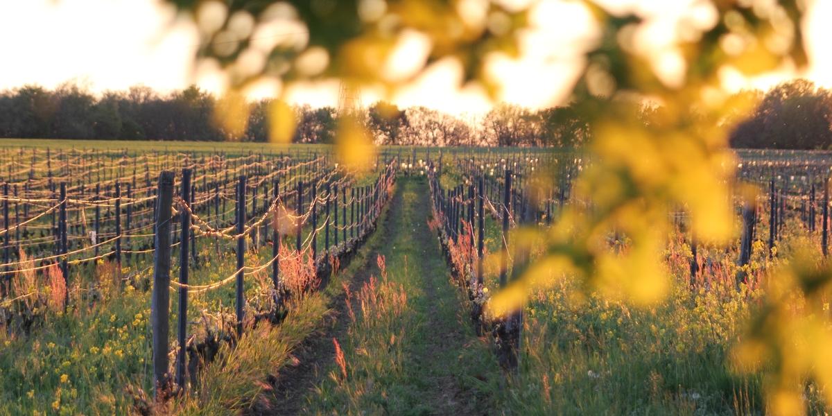 coucher de soleil sur vignes haute densité