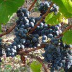 Jeune vigne de Prunelart
