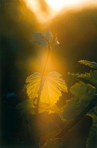 Sun on a leaf