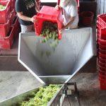 Les premiers raisins blancs du millésime 2017