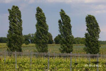 Arbres et vignes au Domaine Rotier