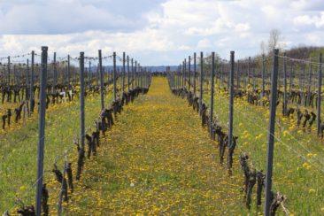 vignes en jaune sur fond de côteaux